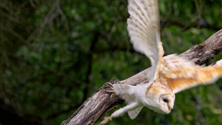 Barn owl (Tyto alba) take off failure | Shutterstock HD Video #1022681041