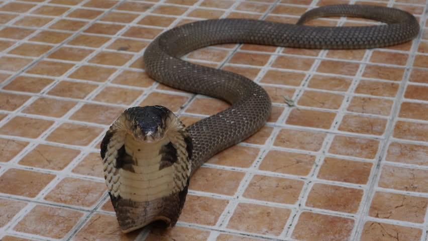 Cobra snake on the floor  | Shutterstock HD Video #1022689951
