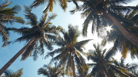 Coconut trees or palm tree. Royalty high-quality free stock video footage of coconut trees or palm tree with view up or bottom view in sunshine. Lush green foliage, coconut trees, sunlight upper view
