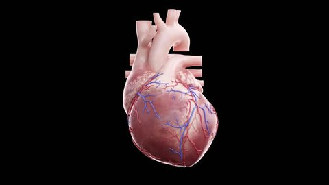 3d animation of a beating human heart