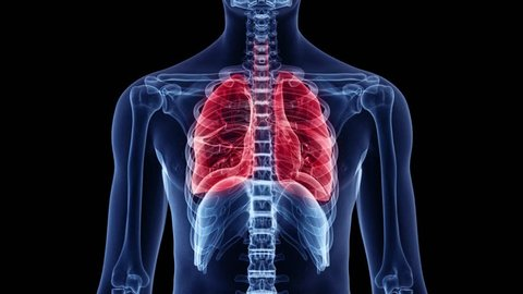 3d animation of a breathing man - visible lung