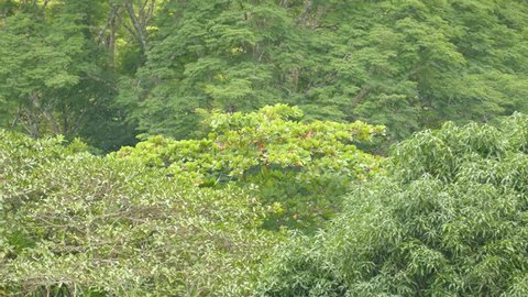 Shot 1/3 of Scarlet Macaw parrots feeding in far away tree for a long time