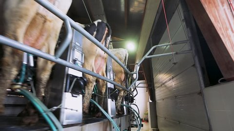Cow milking on modern farm. Dairy cows at dairy factory. Process milking cows. Dairy cows on milking machine. Automated equipment for milking cows on dairy farm.