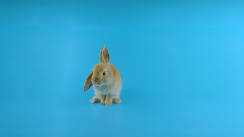 Brown rabbit with one ear down, stands up on two legs, sniffing, looking around, blue screen ready for chroma key