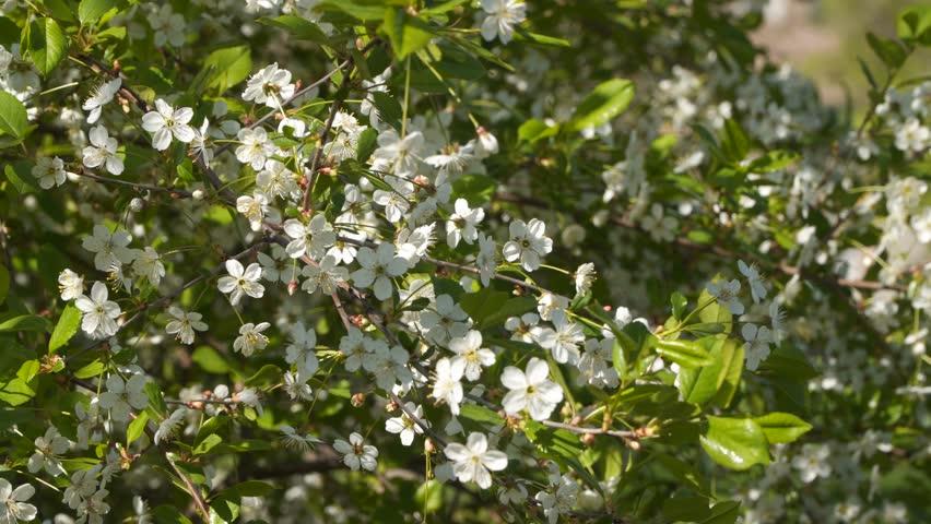 Flowering Fruit Trees White Flowers Stock Footage Video 100