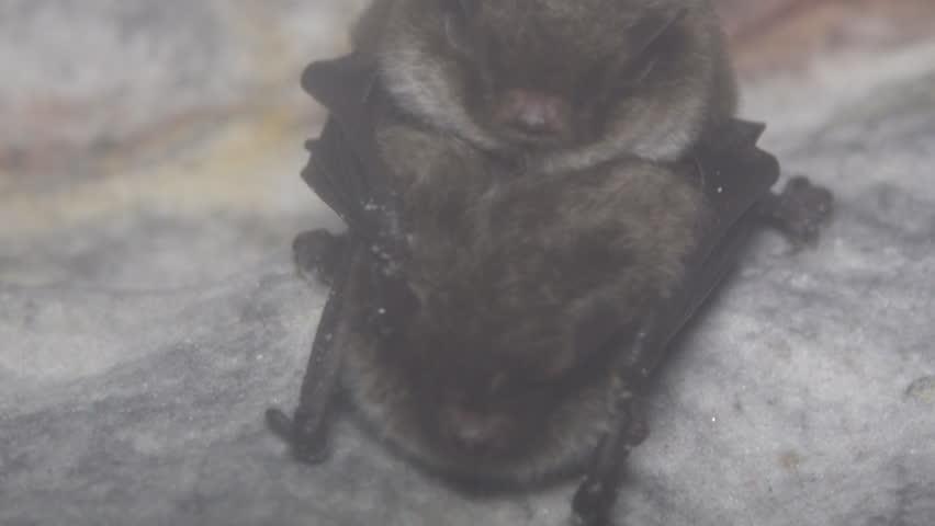 Coitus During Wintering In A Damp Cave Hanging Upside Down And Covered Dew Reproductive Behavior Daubenton S Bat Myotis Daubentoni