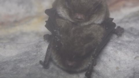 A pair of bats engage in sexual intercourse (coitus) during wintering in a damp cave hanging upside down and covered in dew. Reproductive behavior. Daubenton's Bat (Myotis daubentoni)