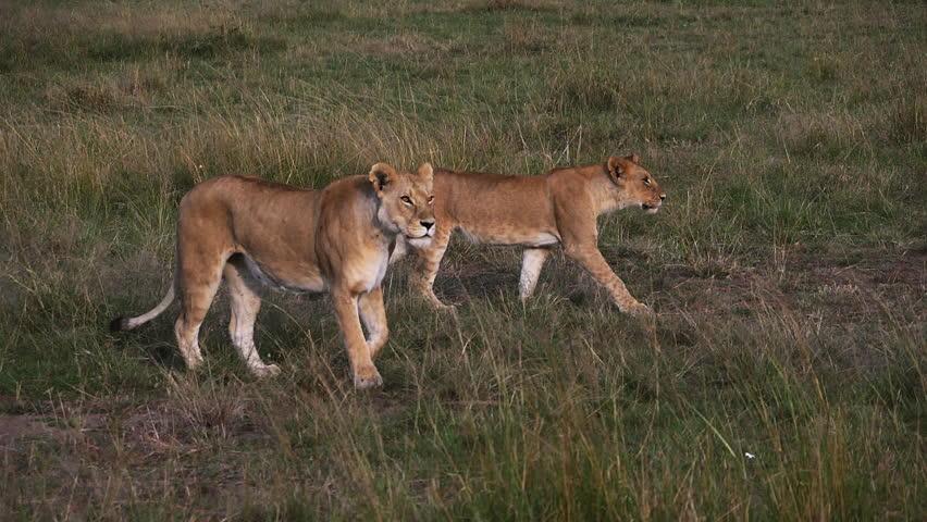 African Lion, panthera leo, Females Walking through Savannah, Masai Mara Park in Kenya, slow motion