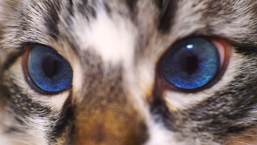 Muzzle beautiful blue-eyed cat close-up. macro shooting.shallow depth of field.   Shutterstock HD Video #1023844021