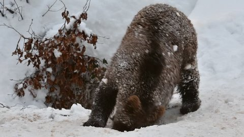 One year old brown bear cub (Ursus arctos arctos) playing in the snow at den entrance after hibernating in winter