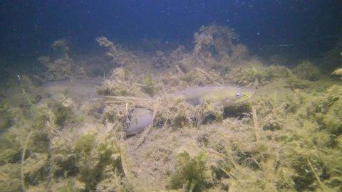 Eel fish (anguilla anguilla) in the beautiful clean river. Wild life animal European Eel. Eel in the nature habitat with nice background. Underwater video of swimming Eel.
