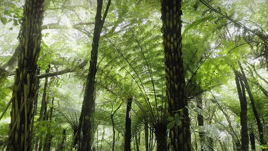 Aerial: Slider shot of tropical fern trees in native forest interior. Coromandel Peninsula, New Zealand    Shutterstock HD Video #1024380941