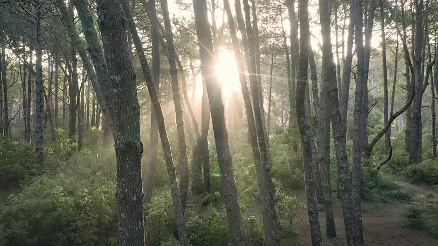 Aerial: Sun shining through trees in a pine forest interior giving a surreal dreamy feel. Tunnel of light. Opoutere, Coromandel Peninsula. New Zealand    Shutterstock HD Video #1024381001