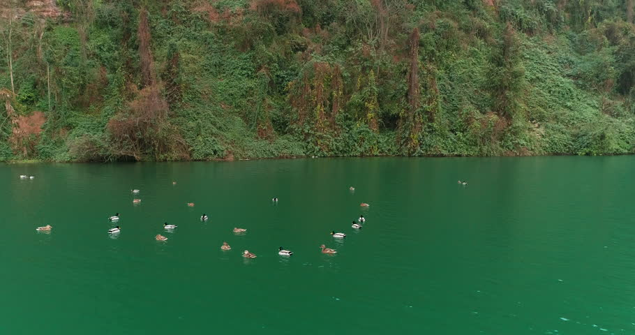 Close up of flock of wild ducks swimming on the river, 4k wildlife in the nature footage    Shutterstock HD Video #1024381421