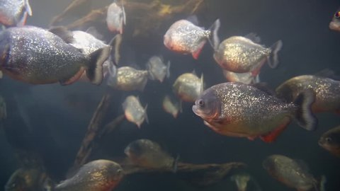 Piranhas fish underwater. Piranhas in the river waiting for the victim. A flock of tropical piranha fish in the Amazon River swim among the driftwood. Piranha in calm clear water waiting for prey.