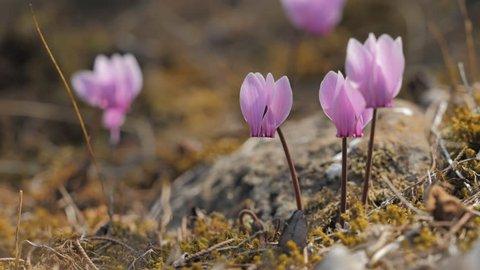 Cyclamen flowers (Cyclamen graecum) blooming in the woods of greeck island