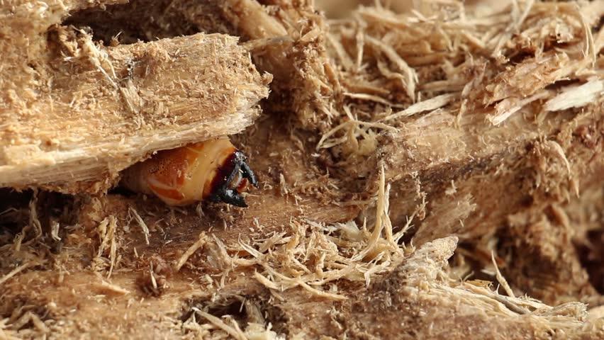 Beetle Worm of Scarab Beetle Stock Footage Video (100% Royalty-free)  1024983581 | Shutterstock
