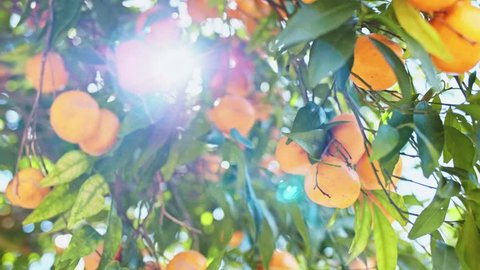 Hands Picking Ripe Tangerines From A Tree, Close Up . SLOW MOTION. Woman plucking juicy orange citrus fruits in sunlit garden, lens flare. Organic Farming.