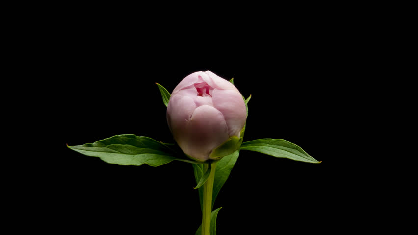 Timelapse pink peony flower blooming on black background