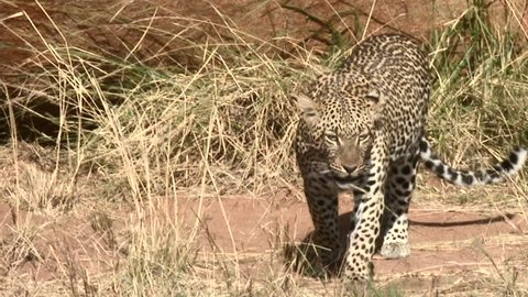 African Leopard (Panthera pardus) walking towards camera
