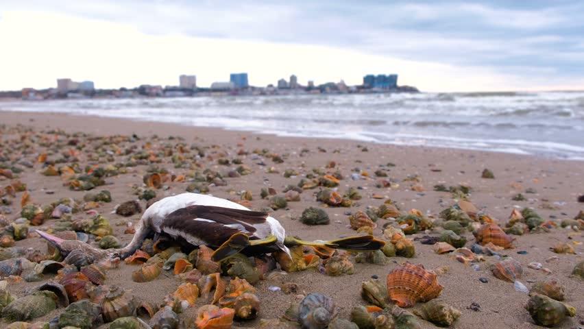 Dead bird among the rapan shells on the sandy sea beach after storm.
