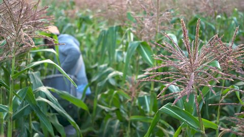 Focus shift from corn stalk to farmer picking corn in the field by hand.