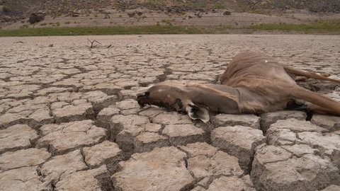 4K close-up panning view of a dead antelope that died of thirst, lying on the cracked mud floor of a dam that has dried up due to a drought from climate change and global warming