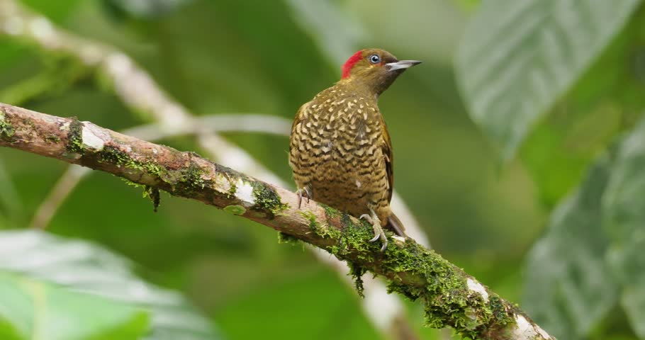 Rufous-winged Woodpecker - Piculus simplex bird in the family Picidae,found in Costa Rica, Honduras, Nicaragua, Panama, in subtropical or tropical moist lowland forests #1025547161