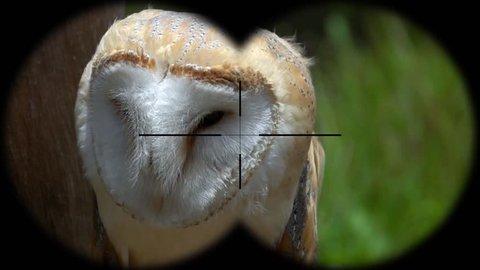 Barn Owl (Tyto alba) Seen through Binoculars. Seen through Binoculars. Bird Watching at Wildlife Safari