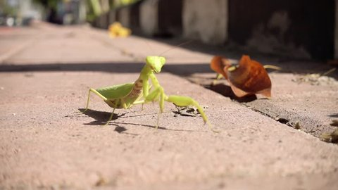 SLOW MOTION ANIMALS. Praying mantis on a sidewalk of a busy street. Green praying mantis, mantis religiosa, Bali, Indonesia