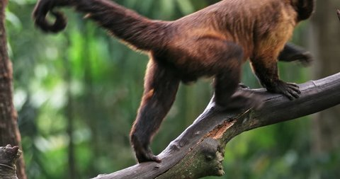 Black-Capped Tufted Capuchin in jungle forest slow motion video. Wild animals of brazilian Amazon nature reserve