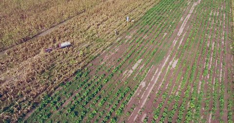 overhead drone shot of farmers harvesting corn by hand.  Wooden cart loaded with corns on the side