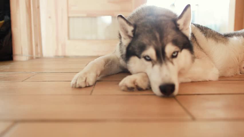 Sad husky is lying on the floor Siberian Husky very sad   Shutterstock HD Video #1025864111