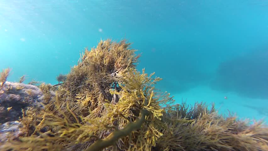 A school of fish, commonly known as Sweep, swim past marine vegetation in Penneshaw, Kangaroo Island in South Australia, Australia. | Shutterstock HD Video #1025928941