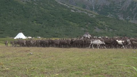 A herd of reindeer at a nomadic camp. Yamal, Russia
