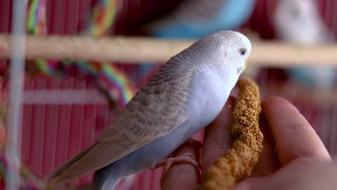 A small adorable light blue budgie is eating millet out of my hand  she  absolutely loves them and is very friendly towards people  the best parakeet