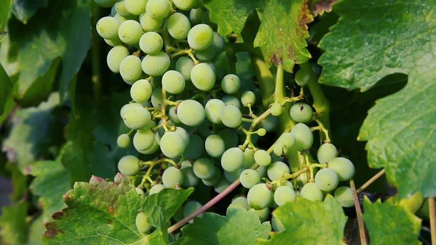 Bunch of unripe grapes on a branch. White grapes at a winery for making white wine | Shutterstock HD Video #1026158381