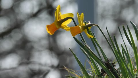 daffodils narcissus close up great details. in garden flower bed at Aarau. CH Switzerland