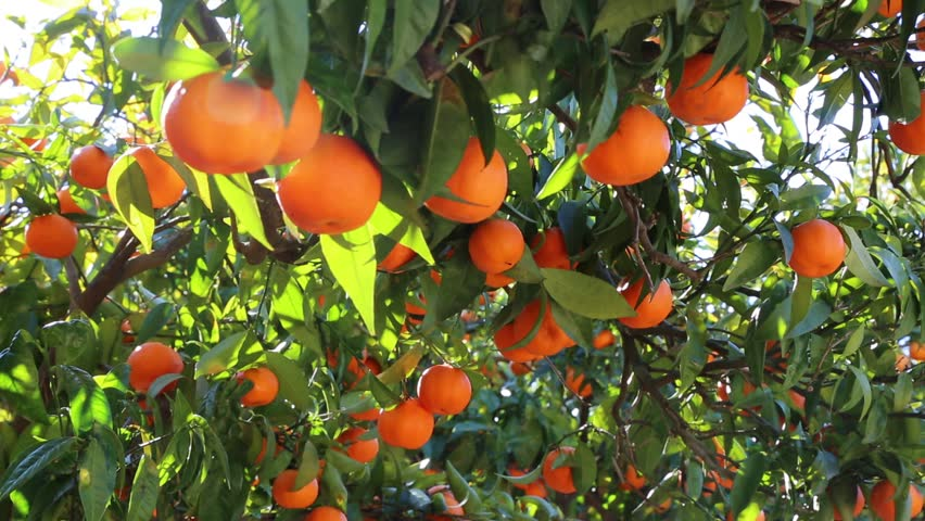 Old Tangerine Orchard. Selected focus