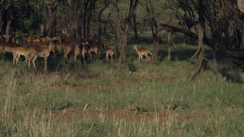 Antelopes run into the forest at the sight of danger