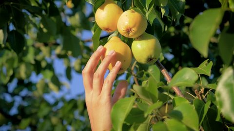 Woman hand harvests ripe pears from a tree in the garden on a Sunny summer day, slow motion, close up, organic and non GMO fruit