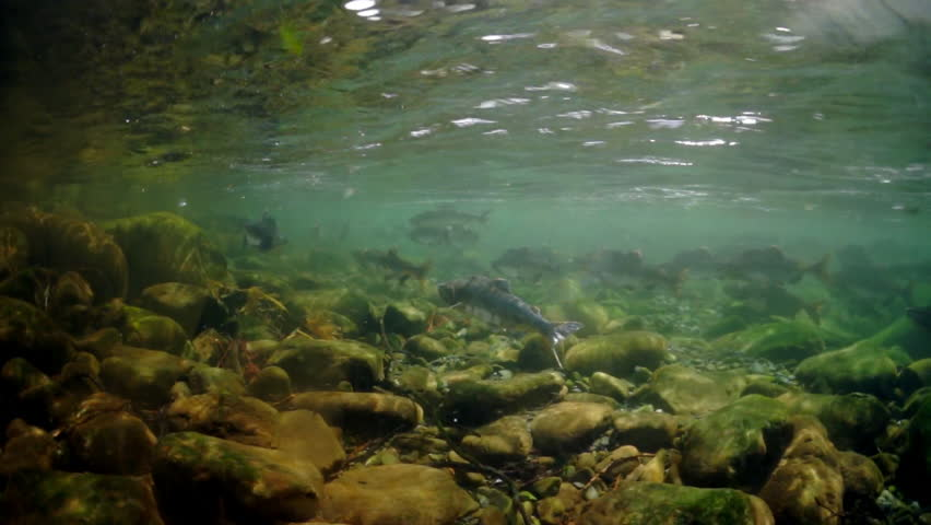 School of salmon fish underwater in Sea of Okhotsk. Salmonidae Oncorhynchus gorbuscha game-fish in clear transparent water.