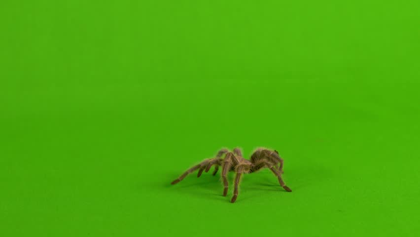 Wide shot of a brown tarantula walking across a green screen | Shutterstock HD Video #1026550181