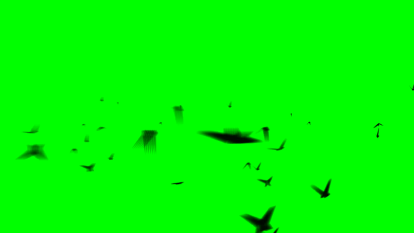 wildlife animal design seagull flying on Green screen Slow motion shot of pigeons flying on green screen and on white isolated on a green background in studio shot background flying butterflies #1026574241