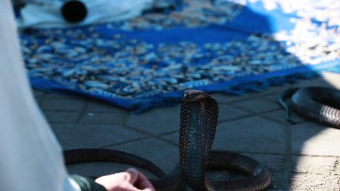 Black Cobra in the streets of Morocco, facing the Camera. Tourist attraction concept.