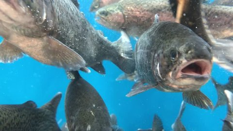 A lot of fish swims in the water. Salmon in blue water. Large aquarium, salmon close-up.