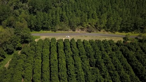 An overhead aerial drone shot of a white car parked by the side of the road in amongst a macadamia nut orchard farm in Queensland, Australia