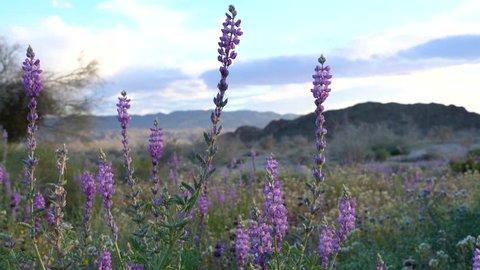 Purple desert lupine wildflowers at Joshua Tree National Park in California at sunset. Taken during the super bloom