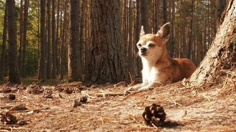 Little cute chihuahua dog lying on nature and enjoying the spring sun. Chiwawa dog lying on the forest substrate of pine needles. Dog lies and rests on a path in the woods in the summer under the sun