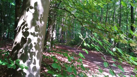 Foliage create beautiful light and shadow pattern on tree trunk. Deciduous forest and trees around Lake Arreso on the Danish island of Zealand. Beech tree in a beech forest a sunny summer day.
